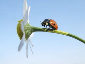 resilient ladybug climbing up daisy