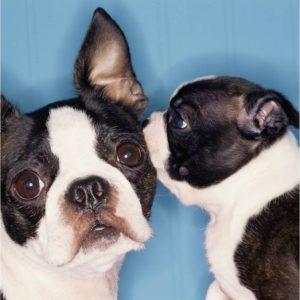dog listening