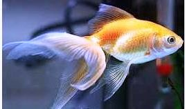 Picture of a goldfish - it is possible to grow old and be healthy and playful